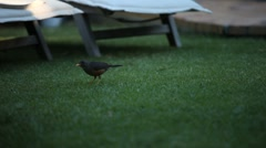 Blackbird on the grass Stock Footage