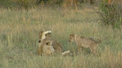Lions P1 Stock Footage