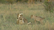 Stock Video Footage of Lions P1