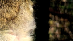 Portrait of baboon Stock Footage