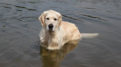 Dog standing in water of lake Stock Footage