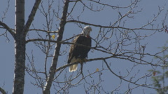 Bald Eagle crapping on tree Stock Footage