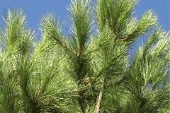 Pines, fur-trees Stock Footage