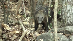 HD wild Ring-tailed Coati (Nasua nasua) in the wild 1  Stock Footage