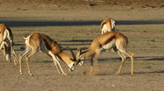 Springbok antelopes fighting for territory - stock footage