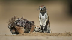 Ground squirrels Stock Footage