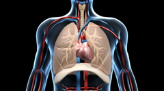 Stock Video Footage of Respiratory & Cardiovascular System, with depicted Blood Flow