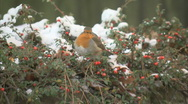 Stock Video Footage of Red robin bird in snow