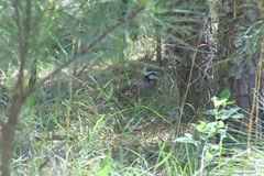Stock Video Footage of Bobwhite Quail Georgia