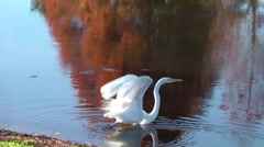 Great egret take-off and glide across pond - stock footage