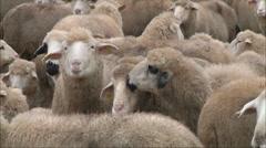 Sheep on a farm 1 Stock Footage