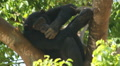 Endangered primate chimp forest tree eats leaves remote habitat jungle monkey Footage