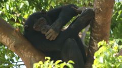 Endangered primate chimp forest tree eats leaves remote habitat jungle monkey  - stock footage