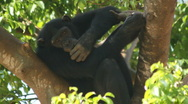 Endangered primate chimp forest tree eats leaves remote habitat jungle monkey Stock Footage