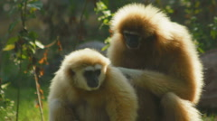 Two gibbons grooming in forest ape monkey Cleaning picking lice  - stock footage