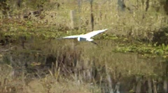 Egret flying low across marsh - stock footage