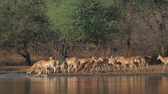 Impala antelopes drinking Stock Footage