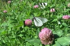 Butterflies 05 Stock Footage