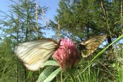 Butterflies 09 Stock Footage
