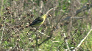 Stock Video Footage of Lesser Goldfinch feeding.