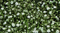 Stock Video Footage of Blooming flowers of Gypsophila paniculata time lapse