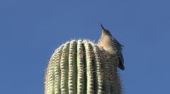 Gila Woodpecker Flying Off Top Of Saguaro Cactus Stock Footage