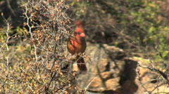 Northern Cardinal Flying Off Of Perch Stock Footage