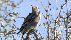 Gila Woodpecker Perched On Branch Stock Footage