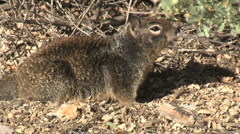 California Ground Squirrel Sniffing And Yawning Stock Footage