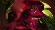 Amaryllis Passing Stock Footage