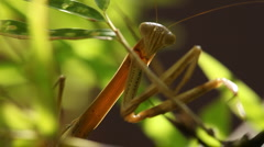 Praying mantis catching fly backlit Stock Footage