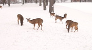 Stock Video Footage of White-tailed deer in the snow