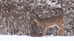 White-tailed deer in the snow - stock footage