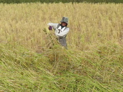 CAMBODIA-RICE HARVEST9 Stock Footage