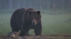 Brown Bear at carcass in fog Stock Footage