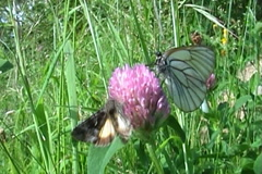Butterflies 11 Stock Footage