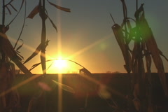 Sunset Corn Field Stock Footage