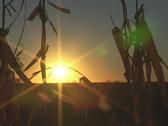 Sunset Corn Field Stock Footage