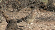 Stock Video Footage of Greater Roadrunner Running Off Screen