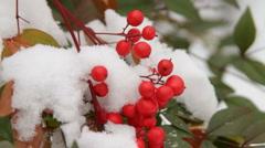 Nandina Berries In Snow Stock Footage