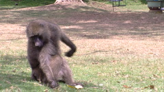 Olive baboon P3 Stock Footage