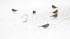 Junco Snow Birds Stock Footage