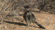 Stock Video Footage of Greater Roadrunner Running Underneath Cactus
