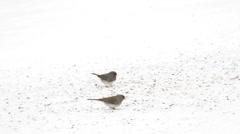 Junco Snow Birds Fly Stock Footage