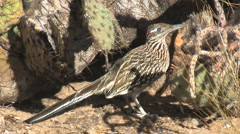 Stock Video Footage of Greater Roadrunner Hiding Underneath Prickly Pear Cactus