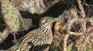 Stock Video Footage of Greater Roadrunner Profile Close Up