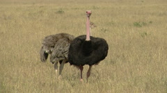 Ostrich 1 Stock Footage