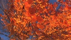 golden fall leaves - stock footage