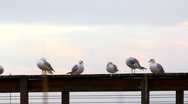 Stock Video Footage of Seagulls on a railing in Color