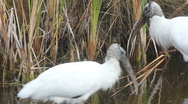 Stock Video Footage of Pair of Wood Stork (Mycteria americana), Holly Hill, FL